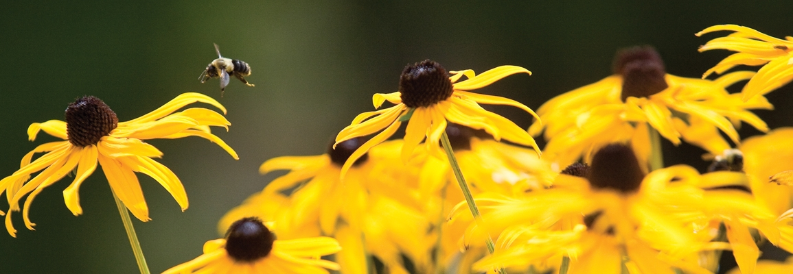 bee with blackeyed susan flowers